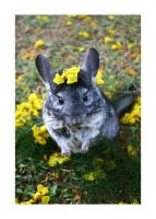 Pet Chinchilla by itscheryl