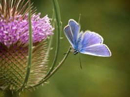 Common Blue butterfly by foto-zo