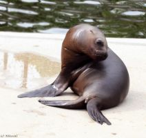 Lil Seal5 by NHuval-stock
