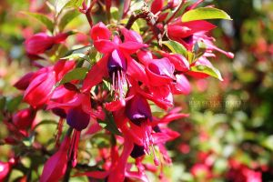 Clustered Fuschia by HerSkeletonKey