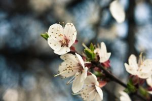 Apricot flowers, Donetsk by daily-telegraph