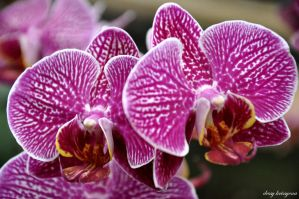TWIN ORCHID by Krissyena