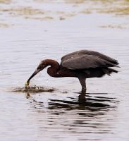 Reddish Egret Hunting by kl61