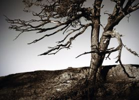 Dumfries: winter pine2 by Coigach