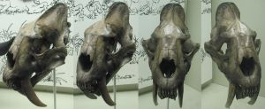 Free Sabre Tooth Cat Skull Stock by tursiart