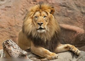 Another lion portrait by robbobert