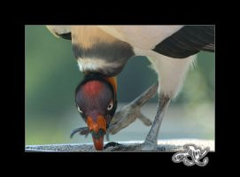 At the Zoo : King Vulture by minainerz