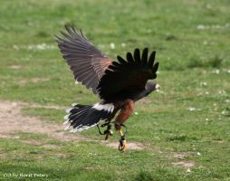 Wuestenbussard  /  Harris-Hawk 2 by bluesgrass