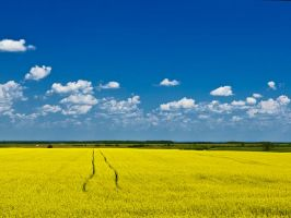 Canola Trails by WayneBenedet