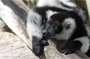 Ruffed Lemur by Peug