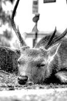 Resting Stag by Drocan