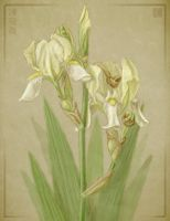 Bearded Iris by cambium
