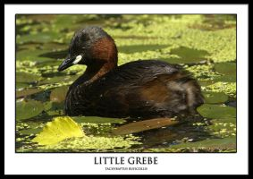 Little Grebe by THEDOC4