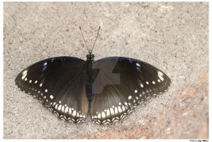 Great Eggfly Butterfly #2 by Tazzy-