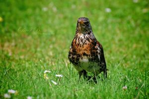 Raptor in disguise by OliverBPhotography