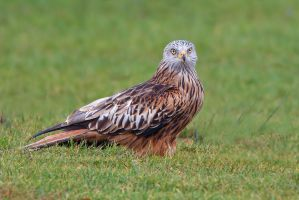That stare - red kite by Jamie-MacArthur