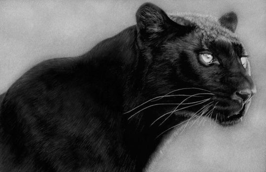 Black Leopard by PencilSessions