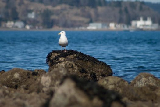 Gull On a Rock by JanineKeat
