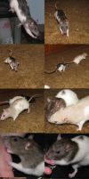 Rat Pose Stock by Tala-Stock