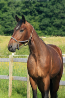 Bay Warmblood 7 by MistyHills-STOCK