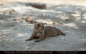 Prairie Dog 3 by SalsolaStock