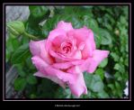 Flower Series 13 of 14 by chelley815