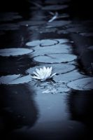 Water lily II by swingdancer