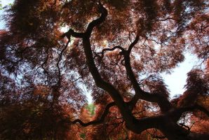 Japanese Maple by Vicarious-Trances
