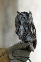 Screech Owl by ribbonworm