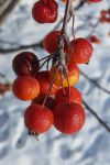 Berries in the Snow (IV) by Sabbelbina