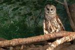 Barred Owl by cheslah
