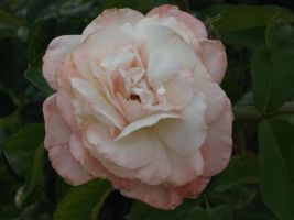 Really Light Pink Rose by RockyRoxas13
