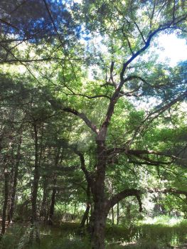 Mass: Genesee river trail tree. by Android-shooter