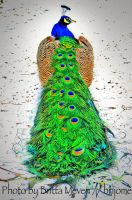 His Majesty the peacock by brijome