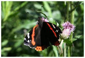 Red Admiral by Kira87