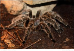 Chilean Rose Tarantula by In-the-picture