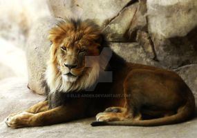 Male Lion at Rest by Elle-Arden