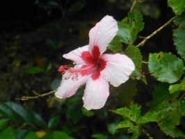 Waimea Valley Hibiscus Garden 2 by K-ayu