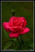 A Rose is A Rose by TRBPhotographyLLC