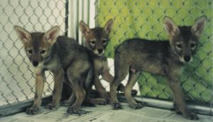 coyote pups by LittleEagle