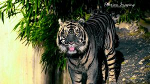 Blue Tiger by PhorionImaging