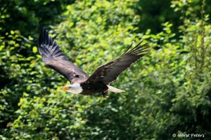 Bald Eagle / Weisskopfseeadler 14 by bluesgrass