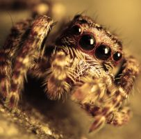 Jumping spider. by flimsyfrog