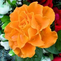 Orange rose by Biljana1313