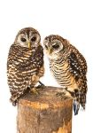 Owl Stock 08 by NellyGrace3103