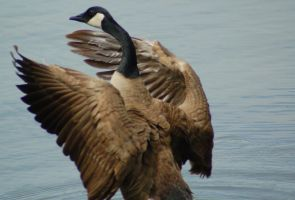 Canadian Goose 2 by Green-Ocean-Stock