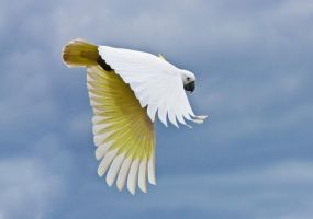 Sulphur Crested Cockatoo 163 by chezem