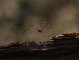 Harvestman 20D0021968 by Cristian-M