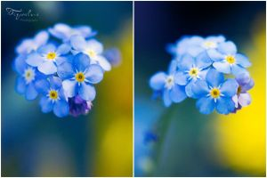 myosotis by tigerelune