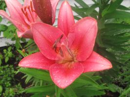 Asiatic Lilies by melfurny
